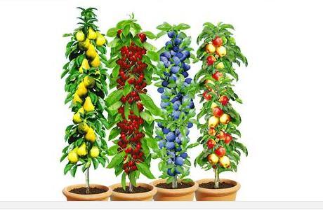 Fruchtige Obstbäumchen: Säulenobst