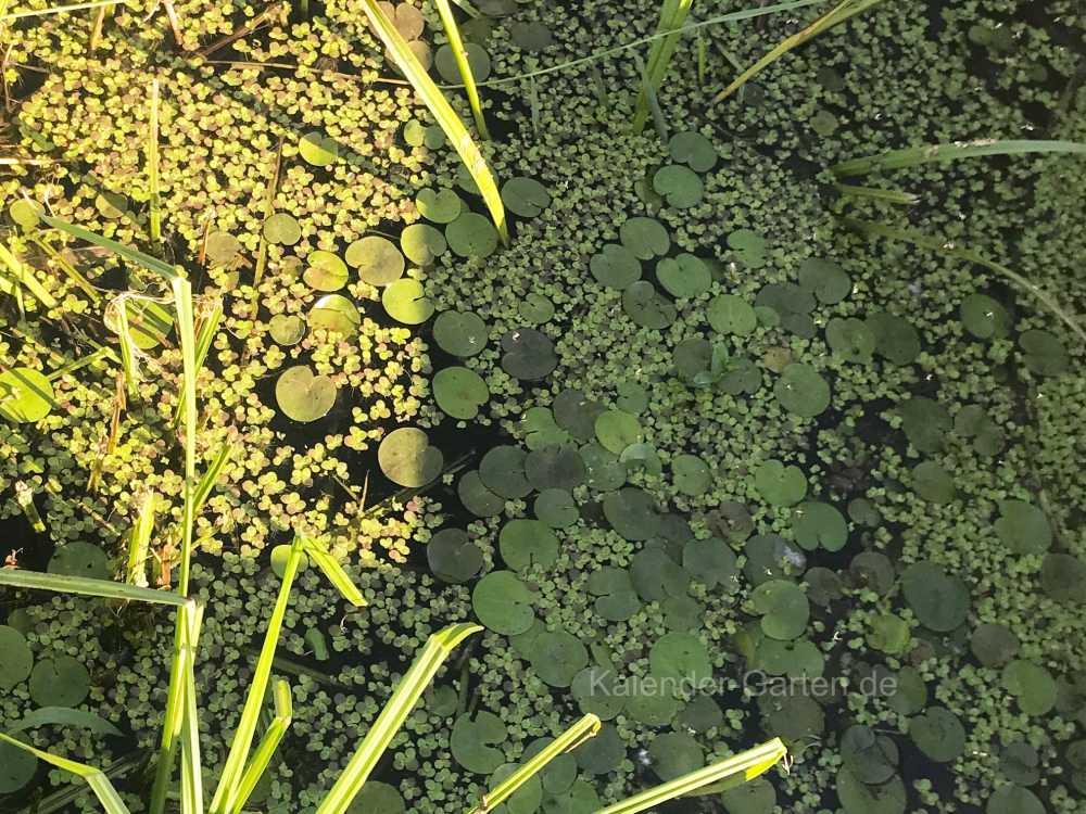 Wasserlinsen und Seerosen als Teichbepflanzung