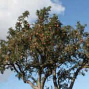 Die letzte Apfelernte vom Apfelbaum