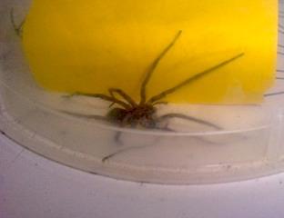 Spinne im Haus