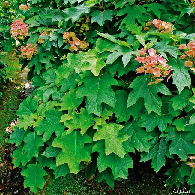 Hortensie – farbenprächtige Gartenpflanze