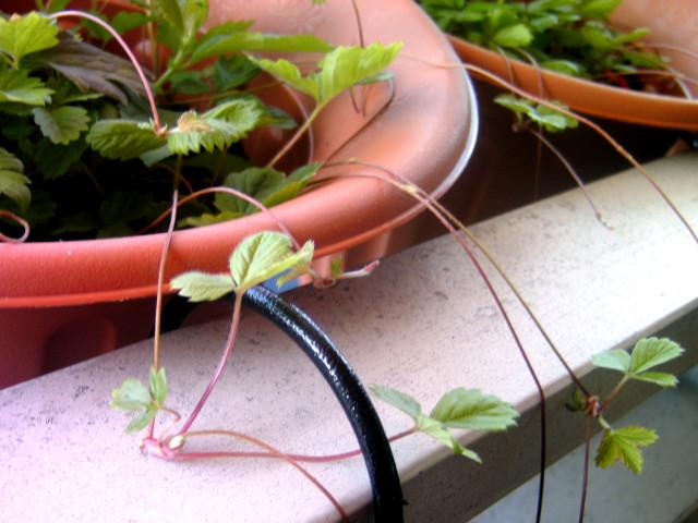 Ableger der Erdbeerpflanze