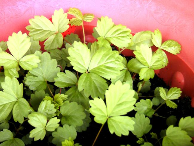 Noch junge Erdbeerpflanzen