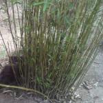 Bambus und Schilf als natürlicher Sichtschutz