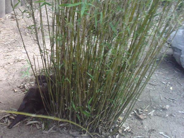 Bambus Phyllostachys Als Natürlicher Sichtschutz