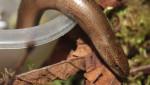Blindschleiche – Keine Angst vor Schlange