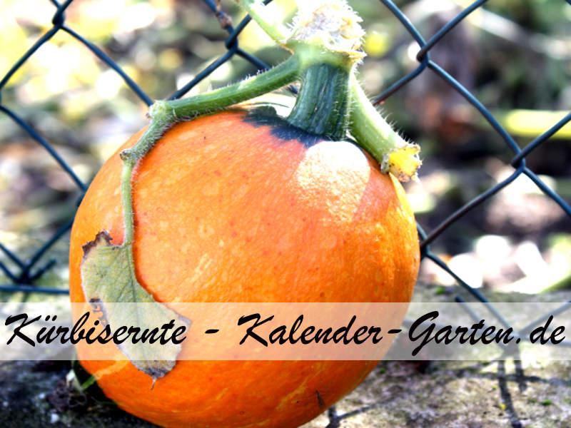 Kürbisernte Gartenkürbis