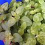 Basilikum anpflanzen