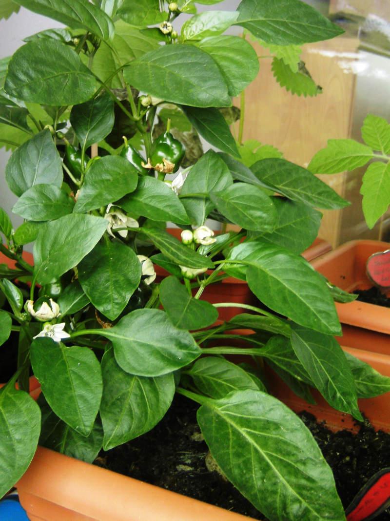 Im Blumentopf vorkultivierte Chilipflanze