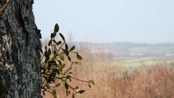 Misteln – Die halbparasitischen Sträucher