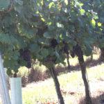 Weinrebe für den Garten