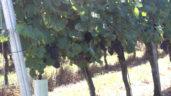 Weinrebe – der botanische Allrounder im Garten