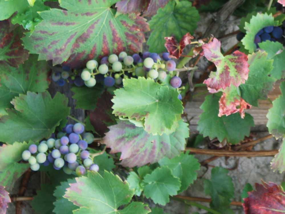 Reifende blaue Weintrauben an der Rebe