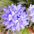 Prächtige Blüte im Garten