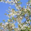 Blüte von Obstbaum