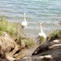 2 Schwäne im Teich