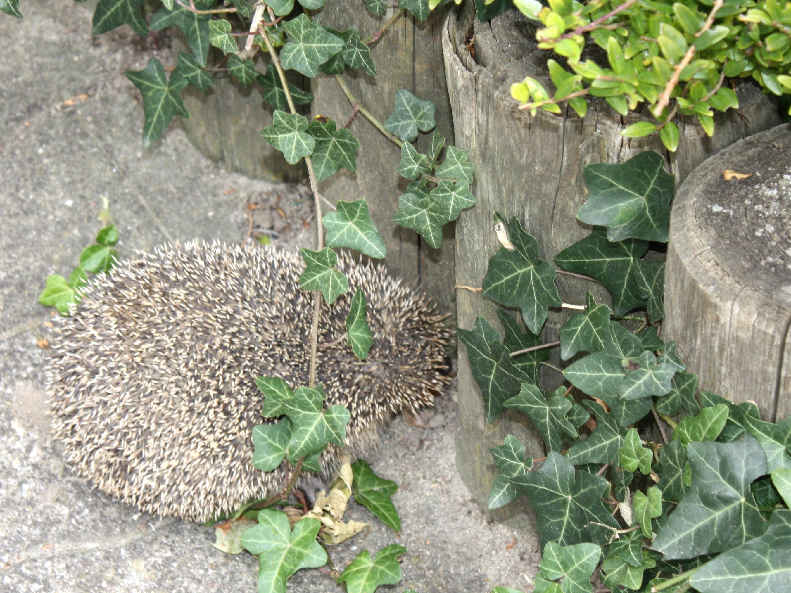 Igel sucht Unterschlupf im Garten