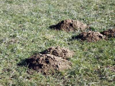 Viele Gärtner ärgern sich über Maulwurfhügel im Garten