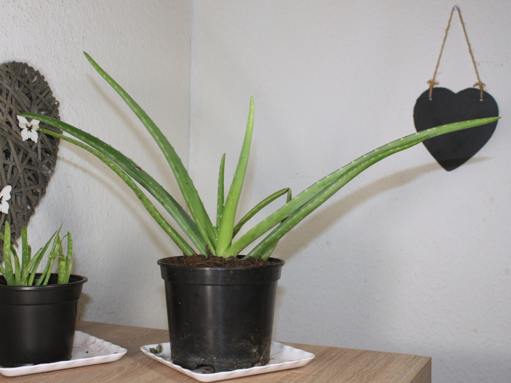 Aloe Vera Pflanze pflegen, vermehren und anwenden