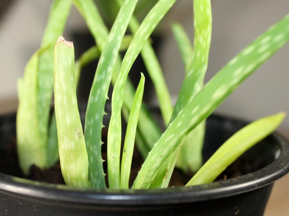 Aloe Vera vermehren durch Kindel / Ableger