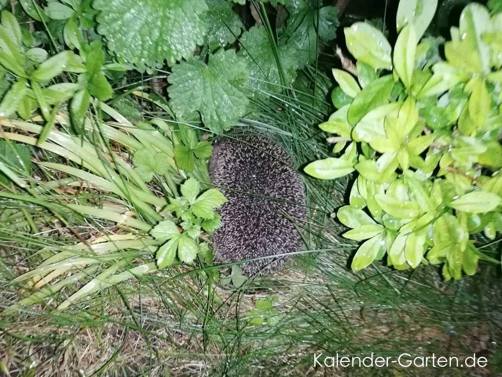 Igel helfen im Garten - viele Tipps für Ihren Gartenbewohner